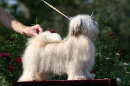 Canyon Hills Havanese – Havanese Puppies Sarasota, Florida