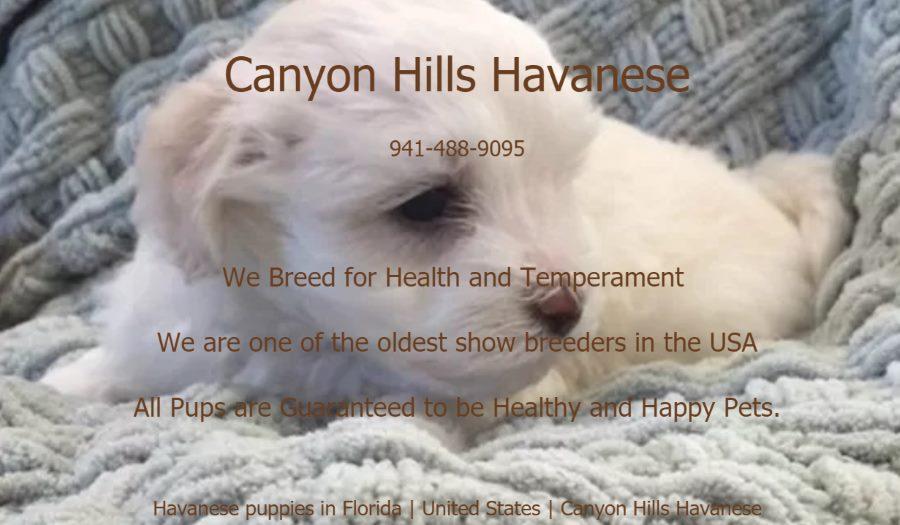 Canyon Hills Havanese